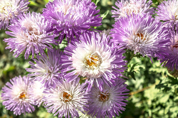 Flowers asters in nature close-up