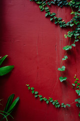 Green vines on maroon wall
