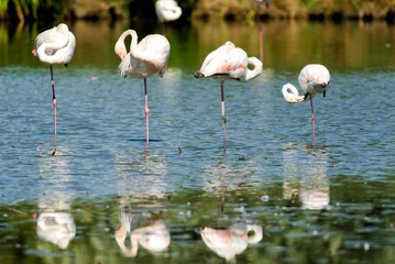 Four flamingos standing on one leg in a row in Camargue National Park, France