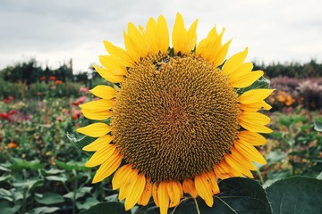 Beautiful wild sunflower on a field of green during the Autumn and Fall season
