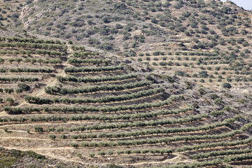 Olive plantation, Crete, Greece, Europe
