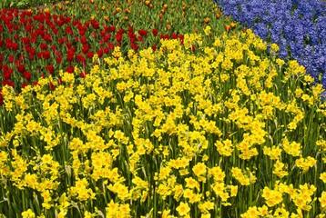 Colourful flowerbeds, Keukenhof, Holland, Netherlands, Europe