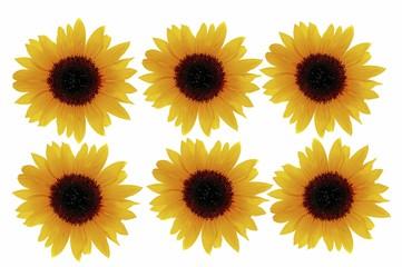 Sunflowers (Helianthus annuus)
