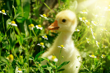Small yellow gosling in flowers daisy