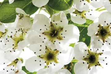 Pear tree blossoms (Pyrus)