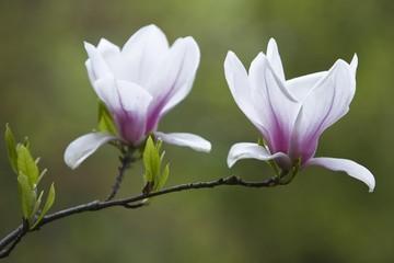 Magnolia blossoms (Magnolia)