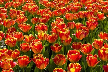 Red-yellow Tulips, Darwin Hybrid Tulip, species Banja Luka (Tulipa Banja Luka)