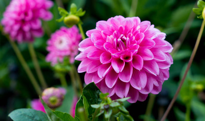 Deurstickers Dahlia Beautiful Pink dahlia at the garden.