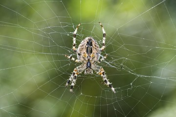 European Garden Spider or Diadem Spider or Cross Spider (Araneus diadematus)