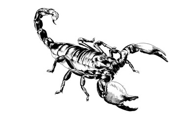Scorpio is drawn with ink on white background tattoo