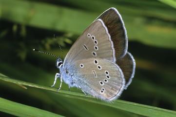 Mazarine Blue (Cyaniris semiargus), female