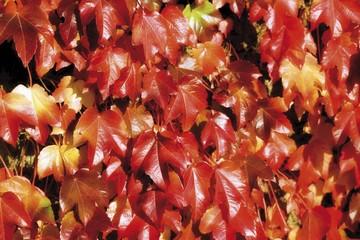 Grape or vine leaves, autumn colours