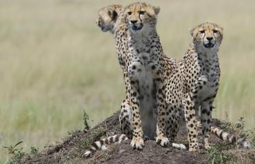 Three cheetahs (acinonyx jubatus ) sitting on a hill, Masai Mara National Game Reserve, Kenya, Africa