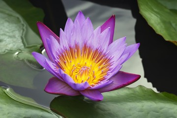 Flowering Blue Water Lily (Nymphaea stellata), blossom