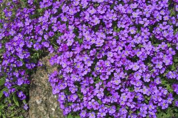 Blossoming Rock Cress (Aubrieta cultorum), bush for rock garden, stone wall