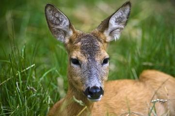 Female Roe Deer (Capreolus capreolus), Estonia, Baltic States, Northeast Europe, Europe