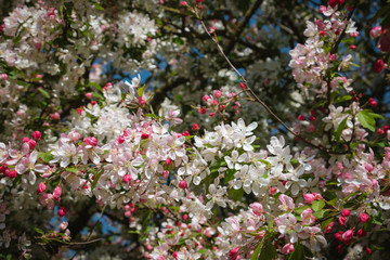 Beautiful white, pink and red blooming flowers on the tree during the spring in England
