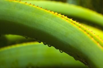 Dewdrops, water drops on spurge (Euphorbiaceae), South Africa, Africa