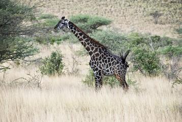 Rothschild giraffe (giraffa rothschildi), Samburu National Park, Kenya, Africa