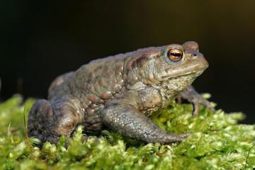 European common toad (Bufo bufo)