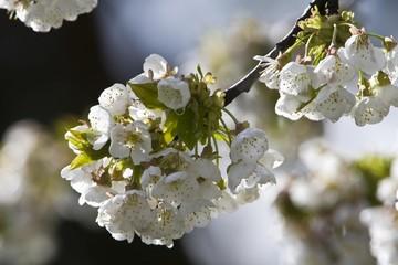 White Cherry blossoms (Cerasus), Frankfurt, Hesse, Germany, Europe