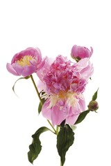 European Peonies (Paeonia officinalis), large pink blossoms