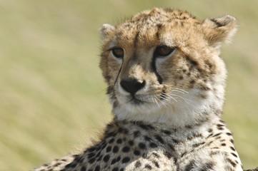 Cheetah (Acinonyx jubatus), Masai Mara National Reserve, Kenya, Africa