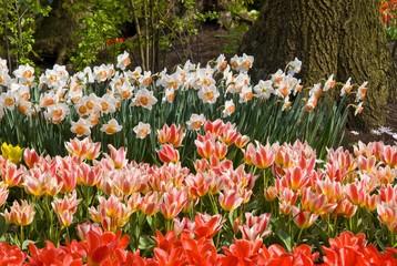 Tulips (Tulipa), Keukenhof, Holland, Netherlands, Europe