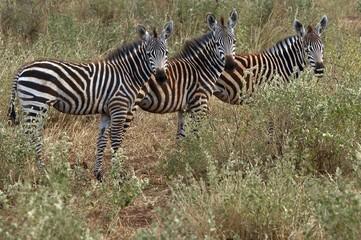 Plain zebras (Equus quagga burchelli) Tsavo National Park, Kenya, Africa
