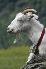 Goat (Capra), portrait, Norway, Scandinavia, Europe