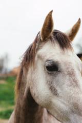 Closeup of a white horse on a farm.