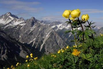 Globe Flower (Trollius europaeus) with panoramic view of mountain peaks, Pfafflar, Elmen, Lechtal Valley, Tirol, Austria, Europe
