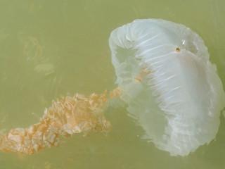 Obraz Jelly Blubber (Catostylus tagi) - fototapety do salonu