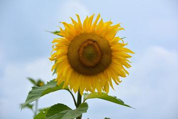 Sonnenblume vor blauen Himmel mit Wolken