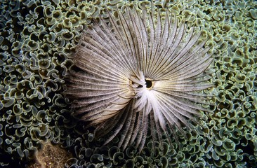 Tube Worm (Sabellastarte sp.), Maldives, Asia