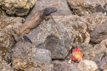 Southern Tenerife lizard that's lost its tail in Teide national park near Mirador Juan Evora