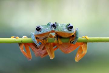 Tree frog, Flying frog, rhacophorus