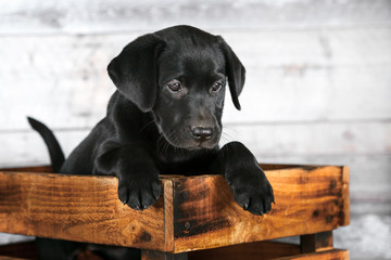 Adorable Black Lab Puppy Wall mural