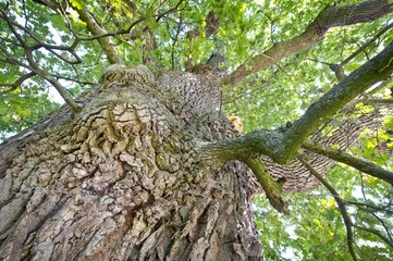 Trunk of an Oak (Quercus) on Emmertshof, with about 750 years one of the oldest oak trees in Germany, near Neuenstein, Hohenlohe, Baden-Wuerttemberg, Germany, Europe