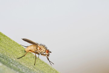House Fly (Muscidae)