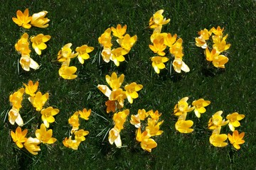 """Frohe Ostern (German for """"Happy Easter"""") spelled out in yellow crocuses (Crocus) on grass"""