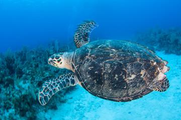 Hawksbill Sea Turtle in Caribbean Sea