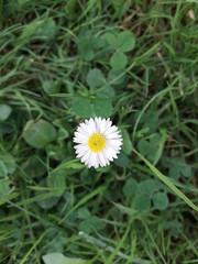 Bonita pequeña flor de Margarita
