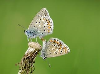 Gossamer-winged Butterflies (Lycaenidae) mating on a Dandelion (Taraxacum), Mindelheim, Bavaria, Germany, Europe