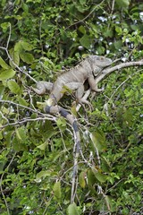 Green Iguana (Iguana iguana), Palo Verde National Park, Guanacaste, Costa Rica, Central America
