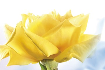 Yellow rose, Floribunda
