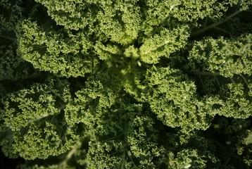 Kale or Borecole (Brassica oleracea convar. acephala var. sabellica)