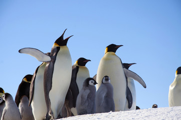 Emperor penguin chick. Close-up. Antarctic