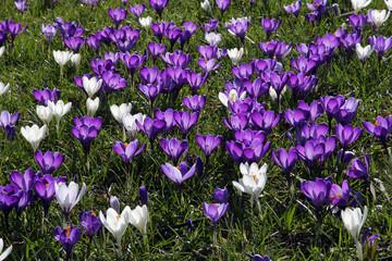Flowering crocus meadow in spring - dutch crocusses (Crocus vernus)