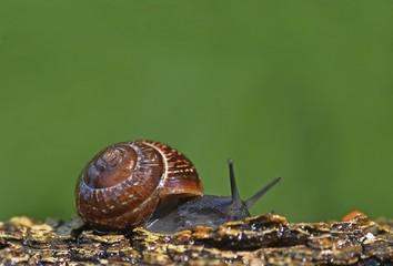 Helicidae snail (Helicidae)